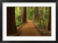 Framed Path through Redwood Forest, Rotorua, New Zealand