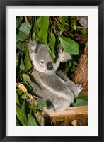 Framed Australia, Brisbane, Fig Tree Pocket, Koala Bears