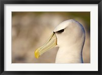 Framed Australia, Tasmania, Bass Strait, Albatross bird head