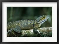 Framed Australia, Queensland, Eastern Water Dragon lizard