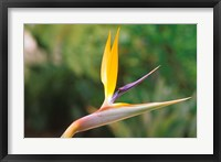 Framed Australia, Queensland, Bird of paradise flower garden