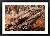 Framed Australia, Central Bearded Dragon lizard, outback
