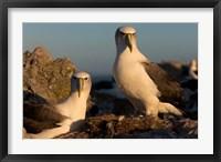 Framed Australia, Tasmania, Bass Strait Albatross pair
