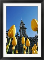 Framed Tulips and Municipal Chambers Clocktower, Octagon, Dunedin, New Zealand