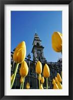 Framed Tulips and Municipal Chambers Clocktower, Octagon, Dunedin, New Zealand