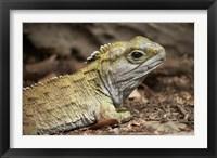 Framed Tuatara, lizard, Pukaha Mount Bruce Wildlife, New Zealand
