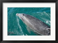 Framed New Zealand, South Island, Marlborough Sounds, Dolphin