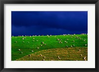 Framed New Zealand, South Island, sheep grazing, farm animal