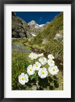 Framed New Zealand Arthurs Pass, Mountain buttercup flower