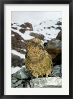 Framed New Zealand, South Island, Arrowsmith, Kea bird up close
