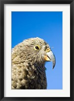 Framed Close up of Kea Bird, Arthurs Pass NP, South Island, New Zealand