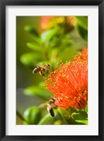 Framed New Zealand, South Island, Bee on Rata flower