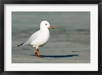 Framed Karamea Redbilled, South Island, Gull New Zealand