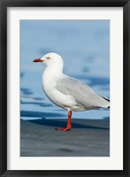 Framed New Zealand, South Island, Karamea Redbilled Gull
