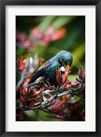 Framed Tui bird, New Zealand