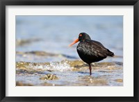 Framed New Zealand, Oystercatcher tropical bird