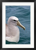 Framed New Zealand, South Island, Salvin's Albatross