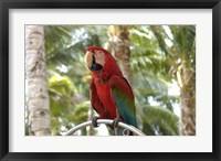 Framed Parrot at Radisson Resort, Palm Beach, Aruba, Caribbean