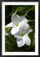 Framed White Flowers on Palm Beach, Aruba