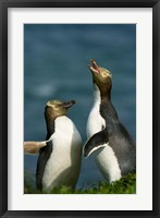 Framed Yellow-Eyed Penguin, Enderby Is, Auckland, New Zealand