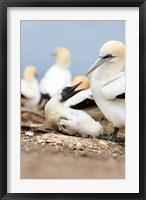 Framed Gannet tropical birds, Cape Kidnappers New Zealand