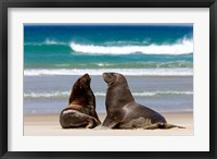 Framed New Zealand, South Island, Hooker's Sea Lion