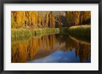 Framed Poplar trees in Autumn, Bannockburn, Cromwell, Central Otago, South Island, New Zealand
