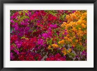 Framed Bougainvillea flowers, Princess Cays, Eleuthera, Bahamas