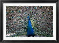 Framed Bahamas, Nassau, Indian Peacock patterns