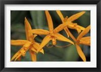 Framed Orange Orchids, Barbados, Caribbean