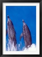 Framed Atlantic Spotted Dolphins, Bimini, Bahamas