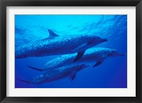 Framed Three Spotted Dolphins, Bahamas, Caribbean