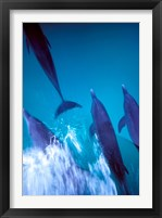 Framed Atlantic Spotted Dolphins standing, Bimini, Bahamas