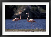 Framed Pink Flamingos on Lake Goto Meer, Bonaire, Caribbean