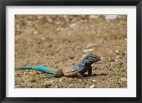 Framed Bonaire Whiptail Lizard, Bonaire, Netherlands Antilles