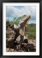 Framed Green Iguana lizard, Slagbaai NP, Netherlands Antilles