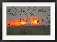 Framed Mexican Free-Tailed Bats, Concan, Texas, USA
