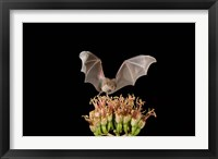 Framed Lesser Long-nosed Bat, Tuscon, Arizona