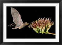 Framed Lesser Long-Nosed Bat in Flight Feeding on Agave Blossom, Tuscon, Arizona