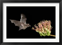 Framed Mexican Long-tongued Bat