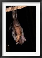 Framed USA, Pennsylvania, Giant Fruit Bat