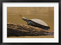 Framed Turtle Atop Rock with Butterfly on its Nose, Madre de Dios, Amazon River Basin, Peru