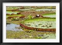 Framed Brazil, Amazon, Valeria River, Boca da Valeria Giant Amazon lily pads