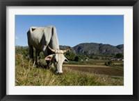 Framed Ox Grazing, Farm animals, Vinales, Cuba
