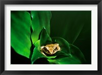 Framed Coqui Frog in Puerto Rico