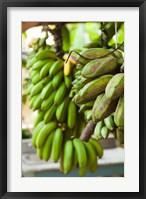 Framed Cuba, Vinales, El Jardin de Caridad, Bananas