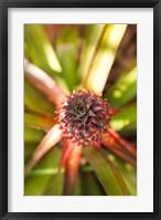 Framed Cuba, Vinales, El Jardin de Caridad, Pineapple