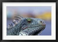 Framed Iguana, Curacao, Caribbean