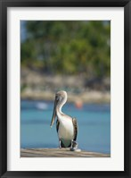 Framed Dominican Republic, Bayahibe, Pelican bird