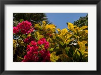 Framed Bougainvillea flowers, Bavaro, Higuey, Punta Cana, Dominican Republic